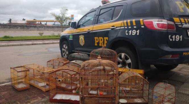 PRF prende homem com 13 aves silvestres sem autorização