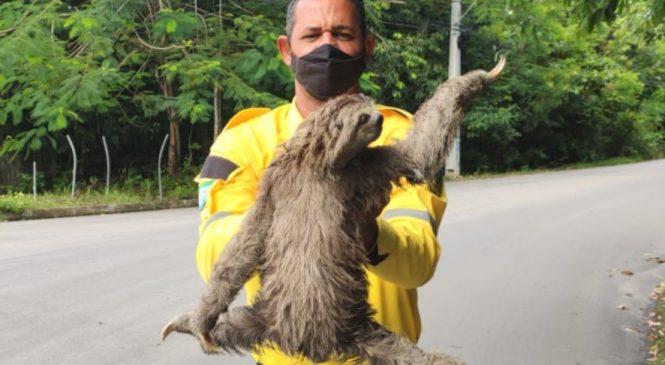 Bicho Preguiça é resgatado por agentes da SMTT em Maceió