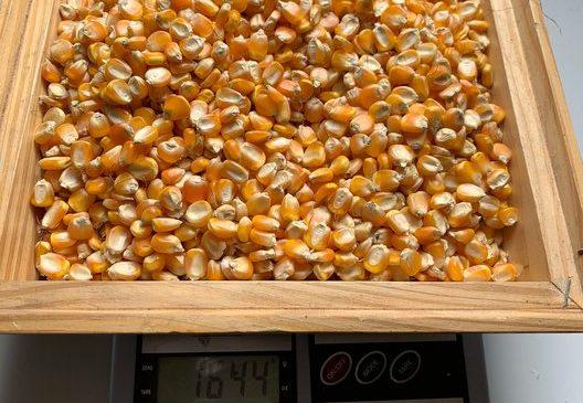 Alagoas poderá ser o 1º Estado a produzir sementes de milho certificadas nos assentamentos