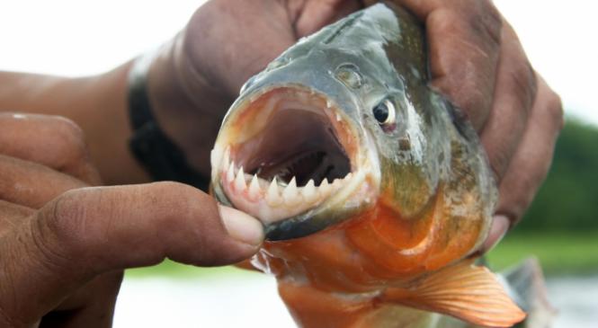 Banhistas são atacados por piranhas no Rio São Francisco, em Pão de Açúcar